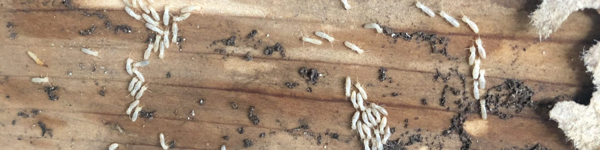 Termites due to water damage